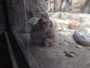 lincoln park zoo macaque renovation exhibit pepper